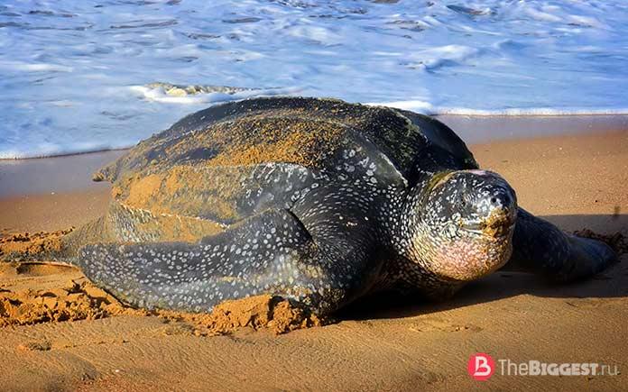 Лучшие ныряльщики среди животных: Морская кожистая черепаха