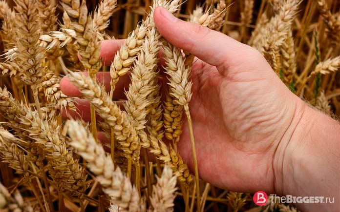 Пшеница. CC0