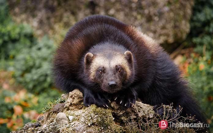 Список самых вонючих животных: Росомаха CC0