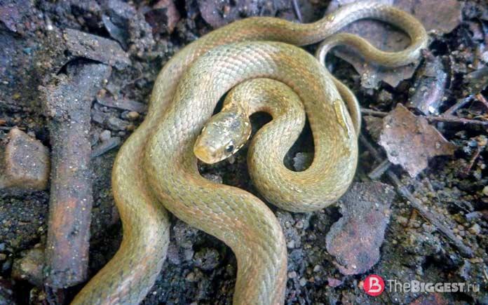 Самые маленькие змеи: Японский уж