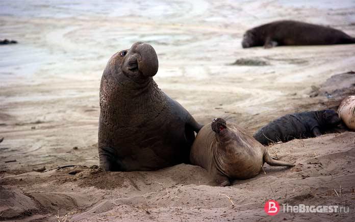 Лучшие ныряльщики среди животных: Южный морской слон. СС0