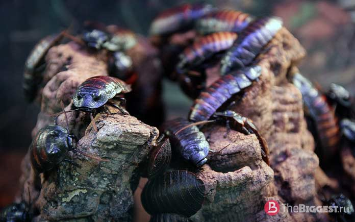 Самые большие тараканы. CC0