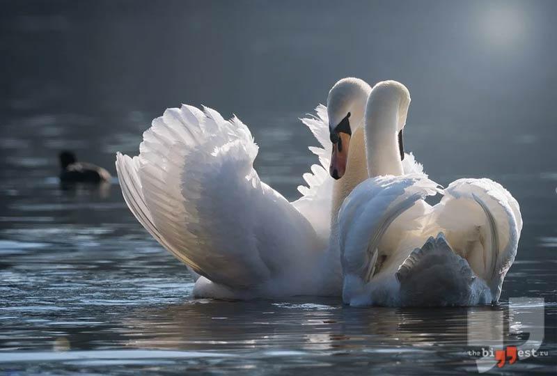Лебеди. CC0