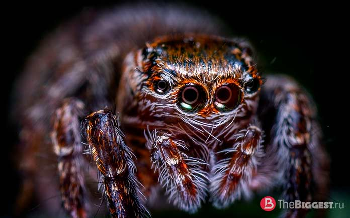 Удивительные глаза пауков: Паук-скакун. СС0