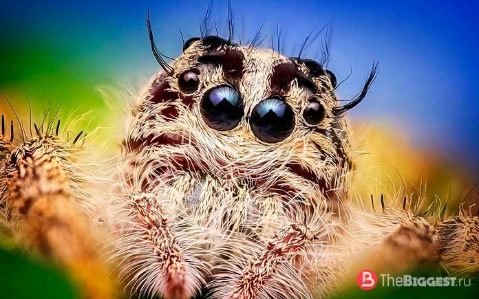 Расположение глаз пауков. СС0
