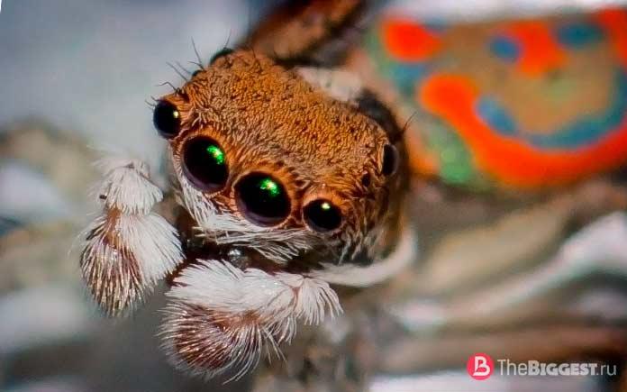 Удивительные глаза пауков: Виды и строение глаз. СС0