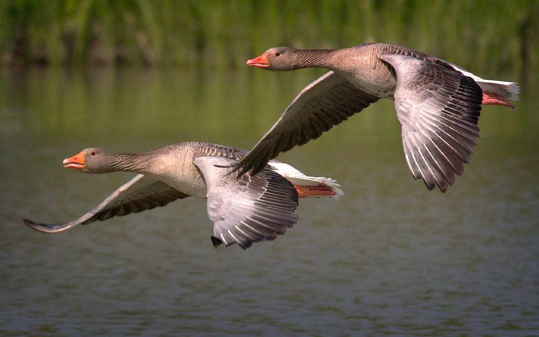 Известные перелётные птицы