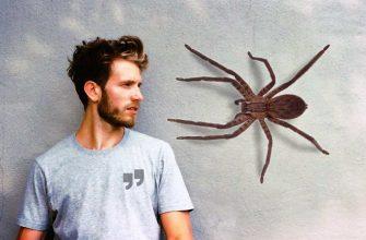 Большие пауки сс0
