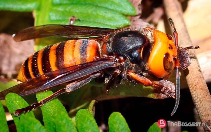 Самые опасные пчёлы: Vespa Mandarinia. СС0