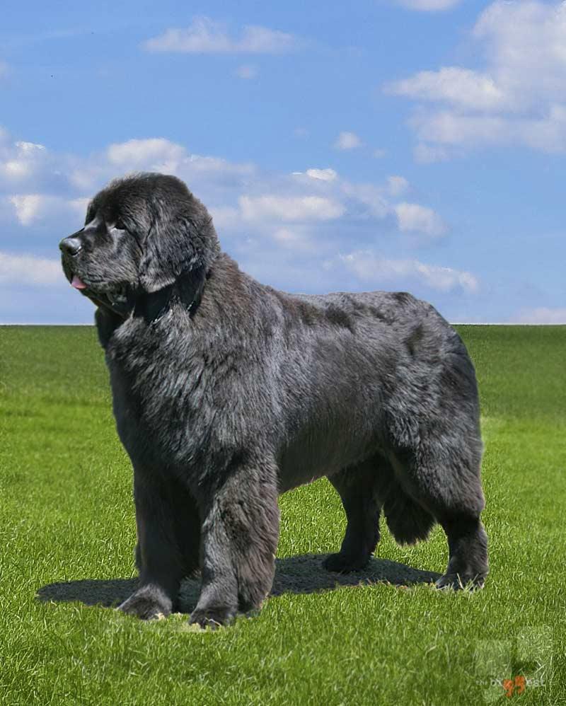 Ньюфаундленд: Самые большие собаки в мире