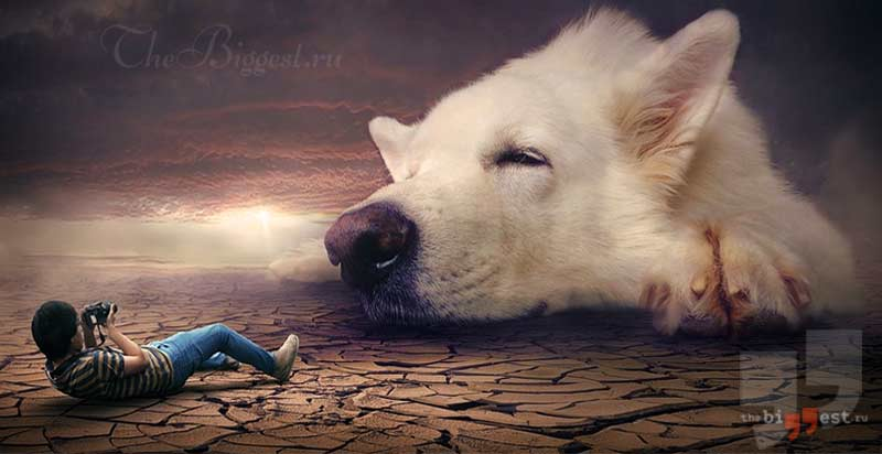 Самые большие породы собак в мире. CC0