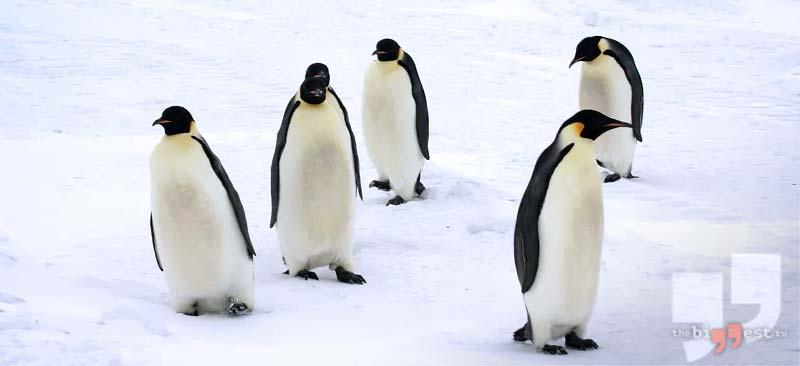 Императорский пингвин. CC0