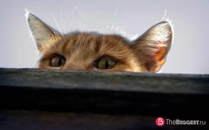 Кошка шпион. CC0