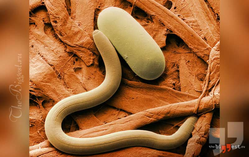Круглые черви. CC0