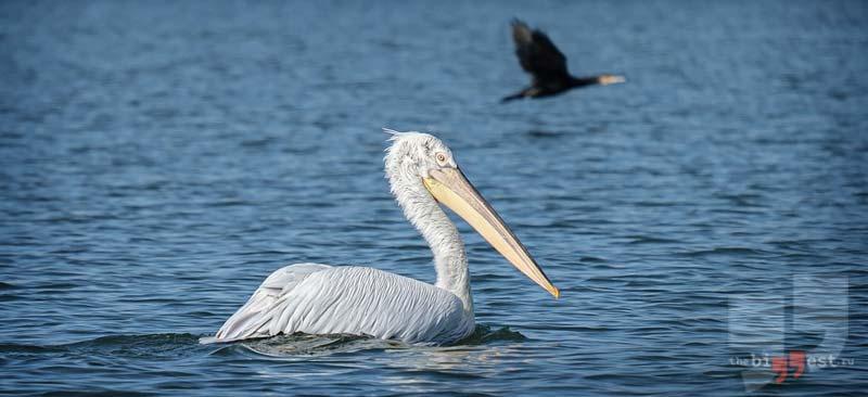 Кудрявый пеликан cc0