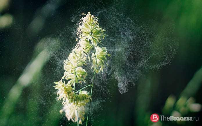 Очень распространённые аллергии: Пыльца. СС0