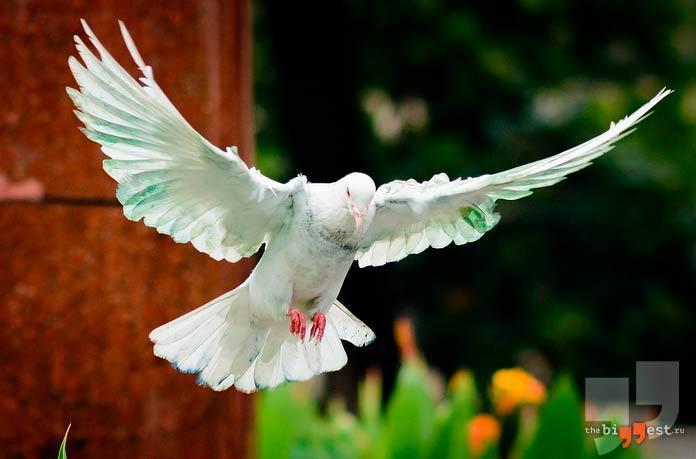 Самые крупные голуби: Бухарские. СС0