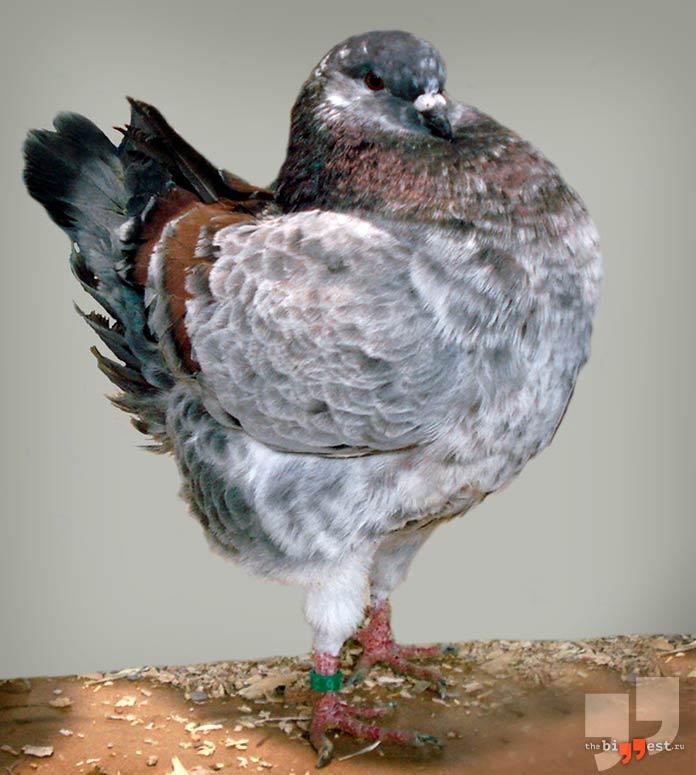 Моденский голубь. СС0