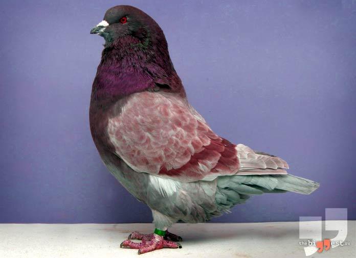 Самые большие голуби: Монден