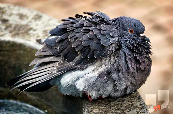 Самый большой голубь. СС0
