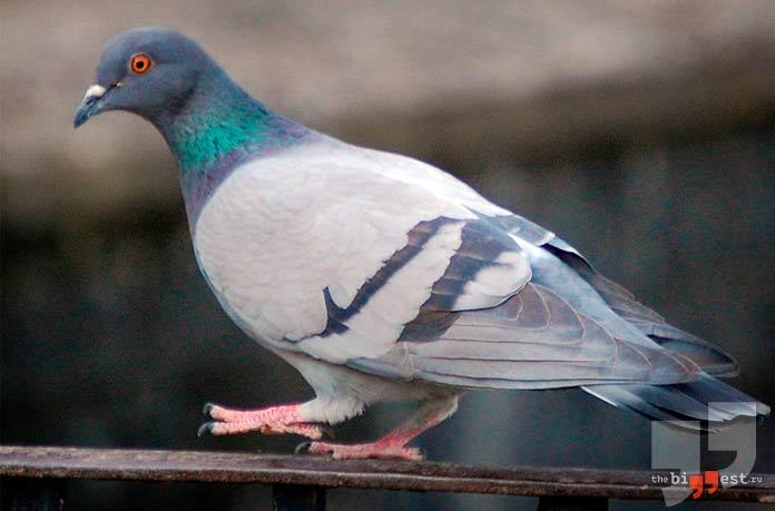 Очень большие голуби: Сизый