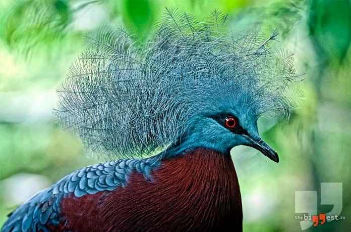 Самые большие голуби: Венценосные голуби. СС0