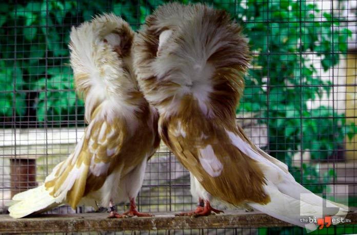 Самые большие голуби: Якобин