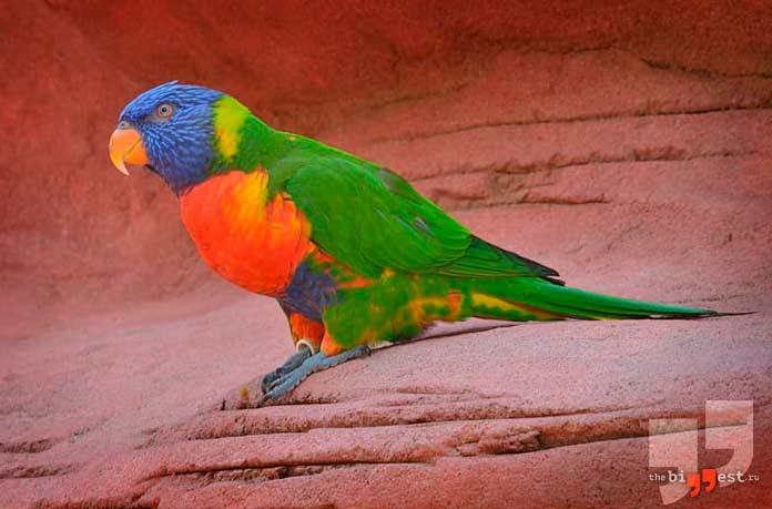 Amazona versicolor. CC0
