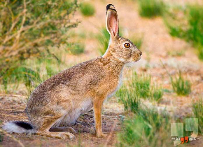 Корсиканский заяц