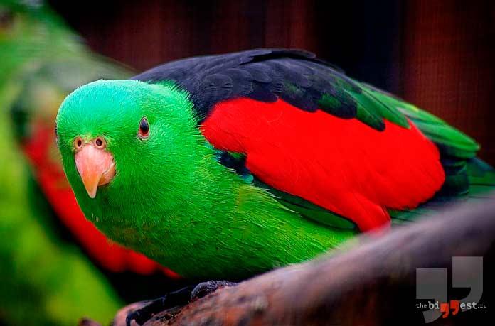 Краснокрылый попугай. CC0