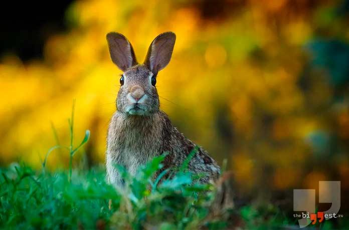 Самые большие виды зайцев. CC0