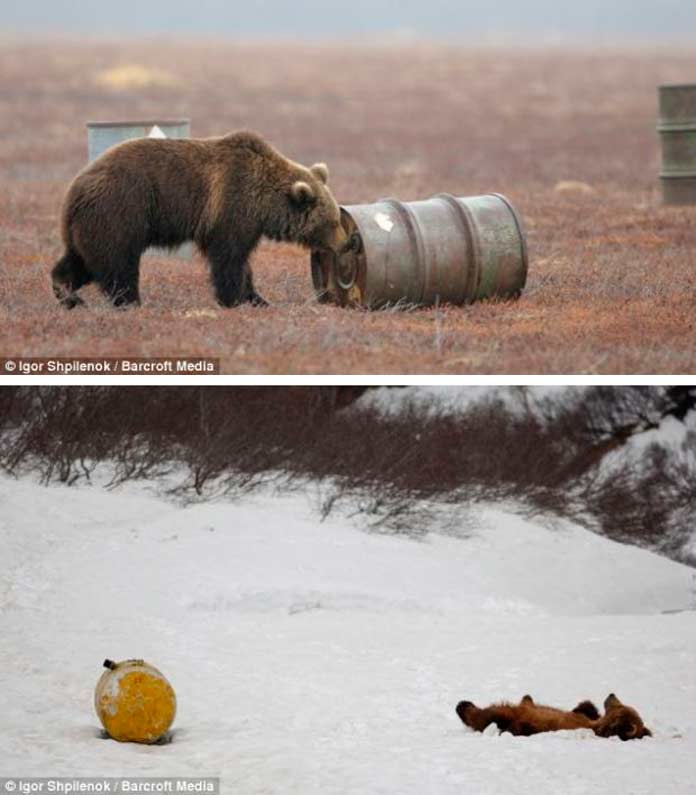 Медведи пьют керосин, это шокирует иностранцев в России