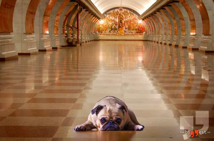 Собаки в метро шокируют иностранцев в России. CC0