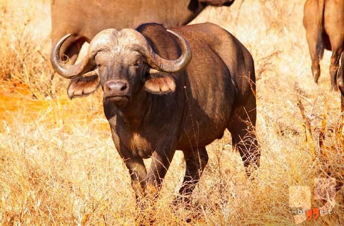 Африканский буйвол. CC0