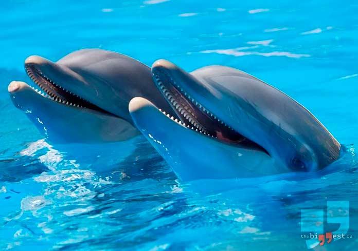 Дельфин с самым острым слухом. CC0