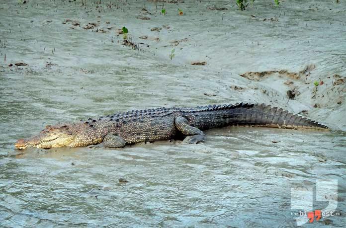 Самые агрессивные животные: Гребнистый крокодил. CC0