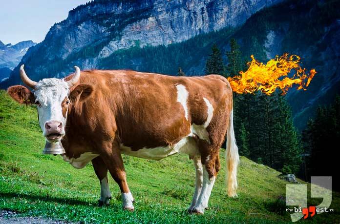 Взрывы животных: Корова. CC0