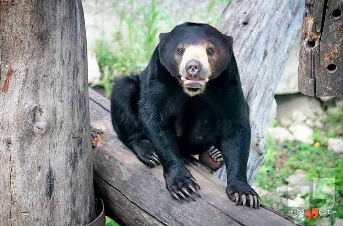 Самые агрессивные животные: Малайский медведь. CC0