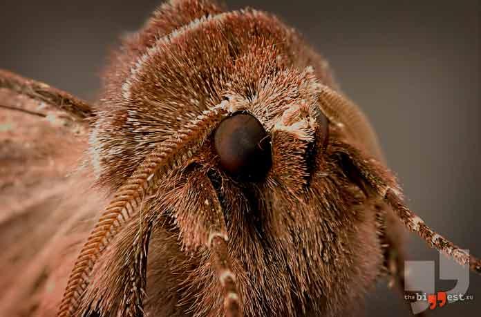 Большая восковая моль - животное с самым острым слухом на планете. CC0