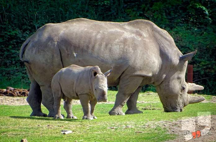 Самые агрессивные животные: Чёрный носорог. CC0
