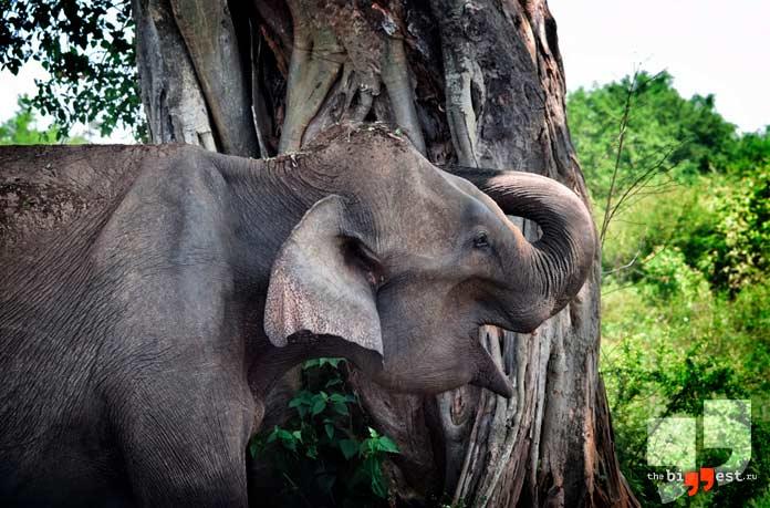 Животные с самым острым слухом: Слон. CC0