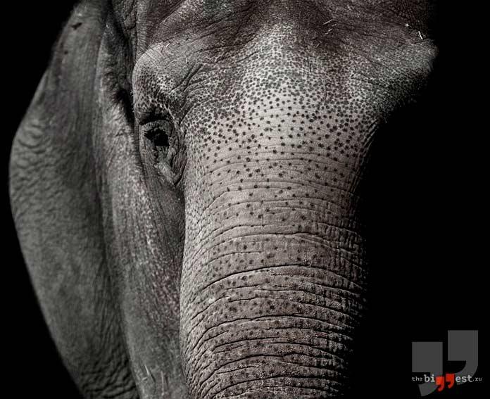 Слон. CC0