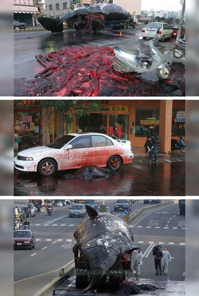 Взрывы животных: Взрыв кита в Тайване