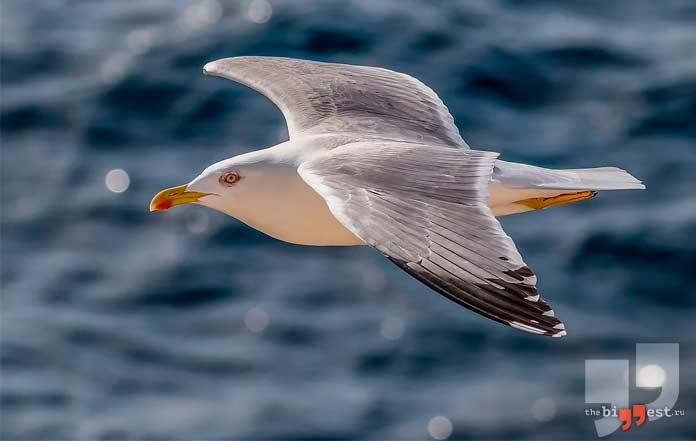 самые опасные птицы: Серебристая чайка. cc0