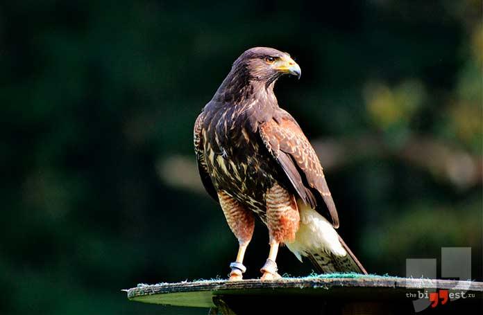 самые опасные птицы: Сапсан.cc0