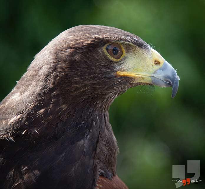 Венценосный орёл: Пёстрая неясыть. cc0
