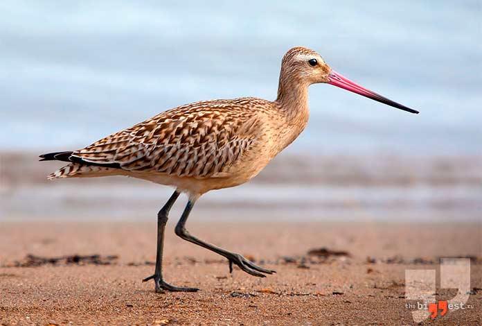 Высоко летающие птицы: Веретенник.cc0