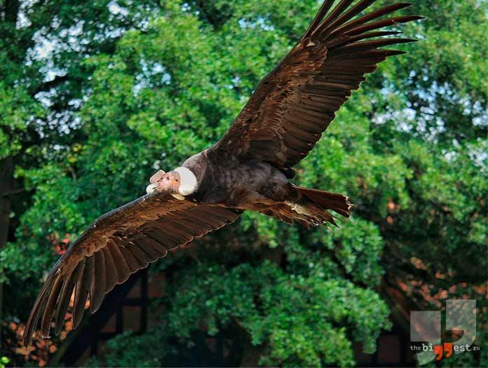Высоко летающие птицы: Андский кондор. CC0
