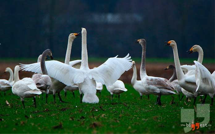 Высоко летающие птицы: Лебедь-крикун. cc0