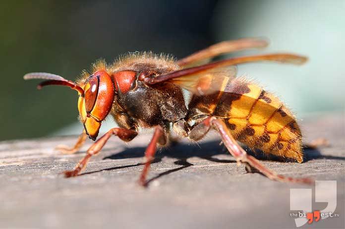Самые надоедливые насекомые: Шершень. cc0
